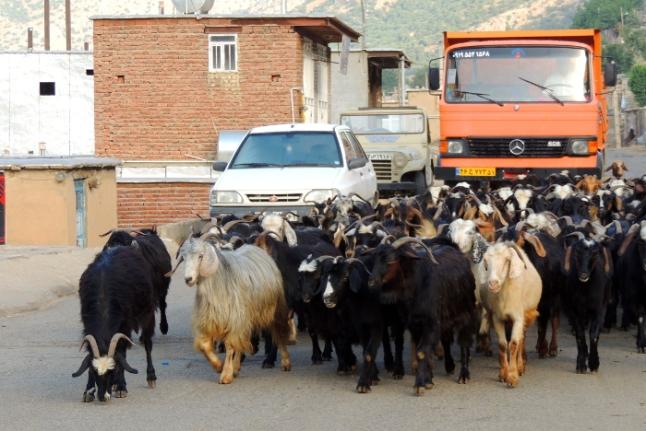 atasco trafico animales Kurdistán Irán