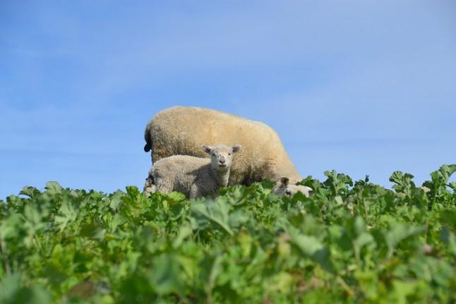 nueva-zelanda-ovejas